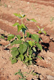 Young Raspberry Plant Stock Images