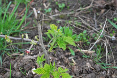 Young raspberry shoots spring in garden of berries Stock Photo