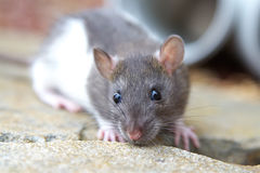 Young rat royalty free stock photo