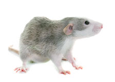 Young rat bicolor. Young rat in front of white background Royalty Free Stock Photo
