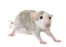 Young rat bicolor. Young rat in front of white background Stock Image