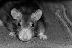Young rat with big black eyes portrait rodent toning muzzle long mustache close-up in focus disiain base substrate site royalty free stock photo