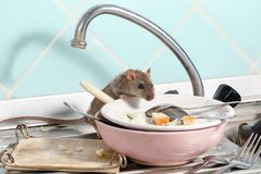 Young rat climbs into the dish with the leftovers of food on a plate on sink at the kitchen. royalty free stock image