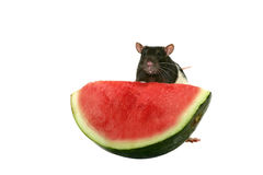 Young rat eating watermelon Stock Images