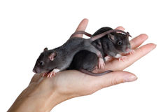 Young rats Stock Photography