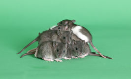 Young rats Stock Image