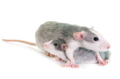 Young rats bicolor. Young rats in front of white background Royalty Free Stock Images