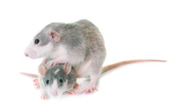 Young rats bicolor. Young rats in front of white background Stock Images