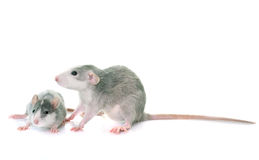Young rats bicolor. Young rats in front of white background Stock Photography