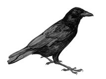 Young raven. A vectorized drawing of a standing young raven Stock Photos