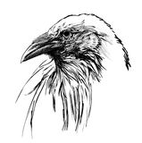 Young raven head Royalty Free Stock Images