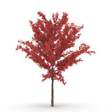 Young red autumn maple tree isolated on white. 3D illustration. Young red autumn maple tree isolated on white background. 3D illustration Royalty Free Stock Image