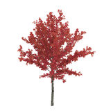 Young red autumn maple tree isolated on white. 3D illustration. Young red autumn maple tree isolated on white background. 3D illustration Stock Photo