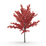 Young red autumn maple tree isolated on white. 3D illustration. Young red autumn maple tree isolated on white background. 3D illustration Royalty Free Stock Photo