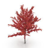 Young red autumn maple tree isolated on white. 3D illustration. Young red autumn maple tree isolated on white background. 3D illustration Royalty Free Stock Photos