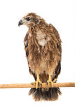 Young red-backed Sea-eagle Stock Image