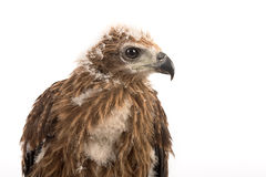 Young red-backed Sea-eagle Royalty Free Stock Photography