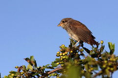 Young red backed shrike Stock Image