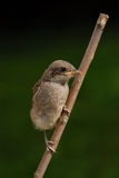 Young Red-backed shrike bird (Lanius collurio) Royalty Free Stock Photos