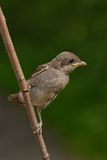 Young Red-backed Shrike bird Stock Images