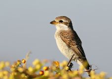 Young red backed shrike or female sits on a bush with berries Royalty Free Stock Photography