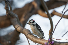 Young Red bellied wood pecker. Clinging on a tree trunk royalty free stock photos