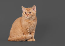 Young red british kitten on grey background Stock Images