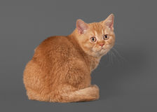 Young red british kitten on grey background Stock Photo