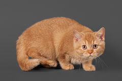 Young red british kitten Stock Images