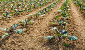 Young red cabbage plants in converging lines Stock Photo