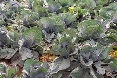 Young red cabbage plants with damaged leaves from insects. Closeup of young organic cultivated red cabbage plants growing in soil. The leaves of the young plants stock photo