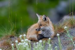 Young Red Cascades Fox Listens Attentively. In alpine meadow Stock Photography
