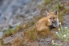 Young Red Cascades Fox Looks Toward Camera. On hillside Royalty Free Stock Images