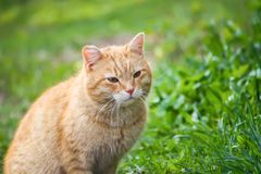 Young red cat with green eyes on summer grass background in a country yard. Young active red cat with green eyes on summer grass background in a country yard stock photography