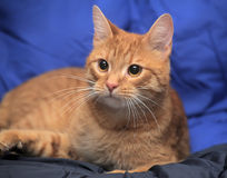 Young red cat Royalty Free Stock Photo