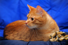 Young red cat Royalty Free Stock Images