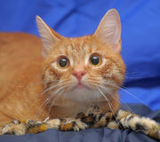 Young red cat Royalty Free Stock Image