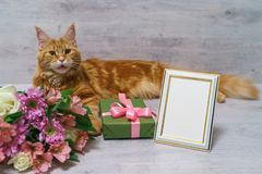 Young red cat of Maine Coon breed lying on wooden table with col. Orful bouquet of roses, chrysanthemum and alstroemeria flowers with gift box and empty royalty free stock photo