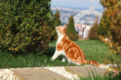 Young red cat sniffs bush. Cute young cat smells green bush in garden Royalty Free Stock Photography
