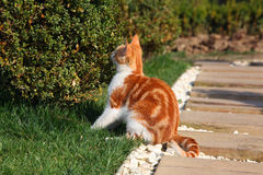 Young red cat sniffs bush. Red kitten smells green bush outdoor Stock Image