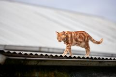 Ginger red tabby cat walking along a corrugated tin roof royalty free stock photography