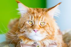Free Young Red Cat With Big Eyes Wearing Butterfly Tie And Smiling Stock Photos - 80963133