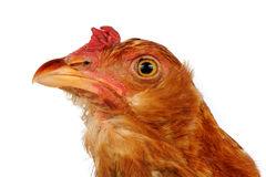 Young Red Chicken Close-Up on White Background Royalty Free Stock Photography