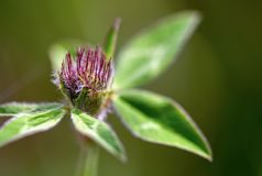 Young red clover flower and leaves royalty free stock photography
