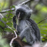 Young Red Colobus monkey , Zanzibar Stock Images