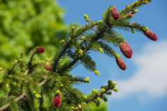 Young red cones at the pine tree branch in spring. Royalty Free Stock Photo