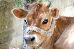 Young red cow Stock Photography