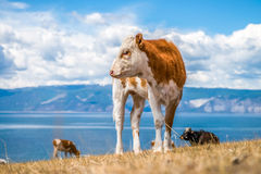 Young red cow with white spots Stock Photos