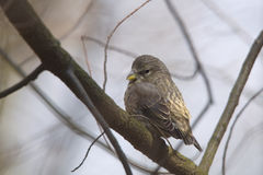 Young red crossbill. On the tree Royalty Free Stock Photos