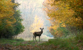 Young red deer. Stock Photo